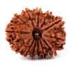 Thirteen Faced Rudraksha