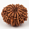 Twelve Faced Rudraksha